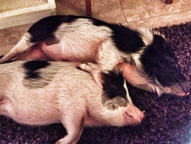 Everything you wanted to know about having a pig for a pet