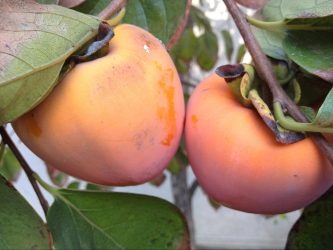 Hachiya Persimmons in the house!